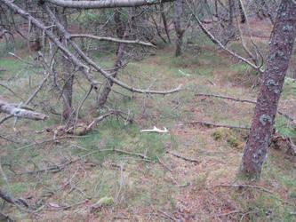 Deer antlers nr 12 and 13 by woodcarve