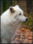 Arctic Wolf by nikkiburr