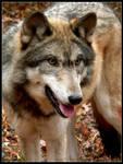 Wolf Smirk by nikkiburr