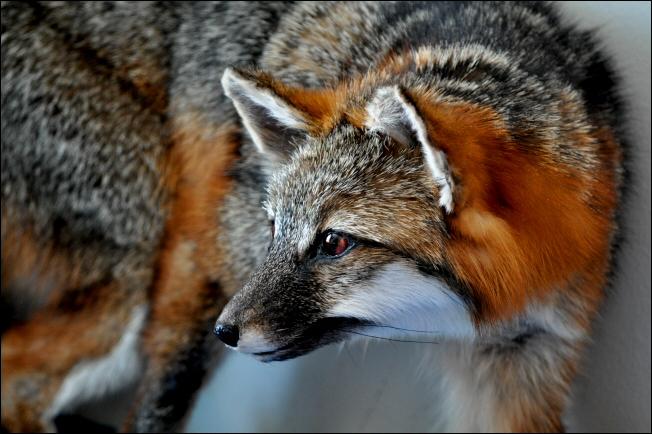 Gray Fox Taxidermy By Nikkiburr On Deviantart