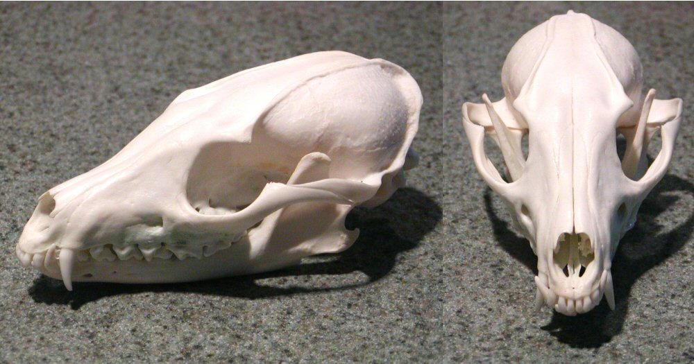 nikkiburr - Fox Skull by nikkiburr on DeviantArt
