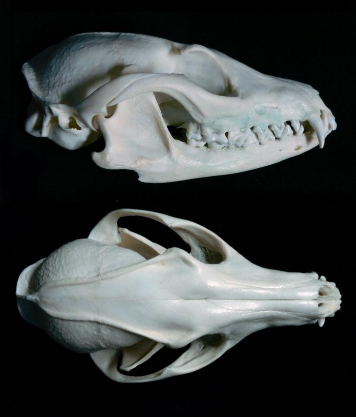 Gray Fox Skull Multiangle By Nikkiburr On Deviantart