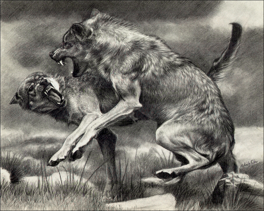 Wolf Fight by nikkiburrFighting Wolf Drawings