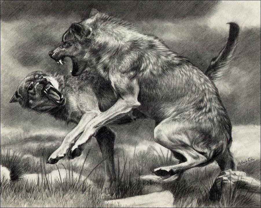 Bitka vlkov !!