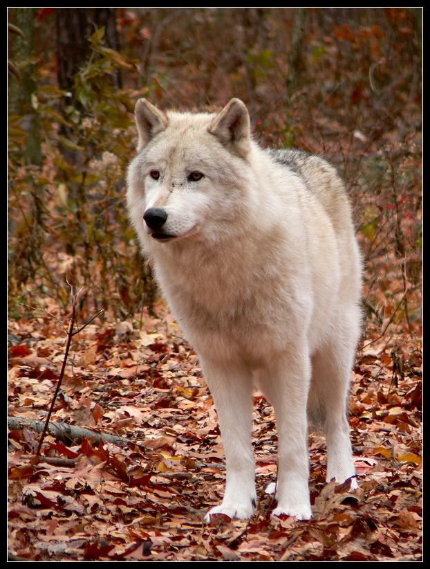 Obrázky vlkov