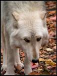 Emo Wolf