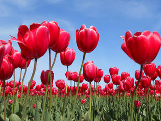 Red Tulips 1 by Chernobylpets