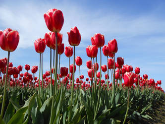Red Tulips 2 by Chernobylpets