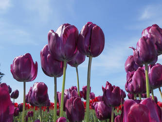 Purple Tulips 1 by Chernobylpets