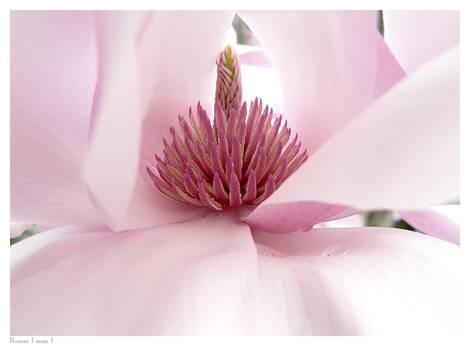 Magnolia  x soulangea