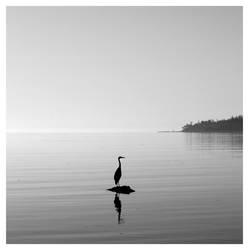 Black Heron by studio7designs