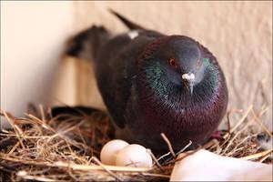 -- pigeon -- by Torvon