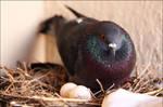 -- pigeon --