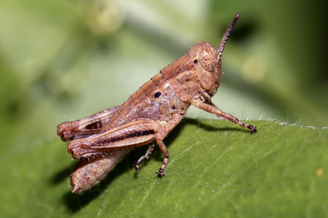 Grasshopper (early instar) by DoctorPhrog