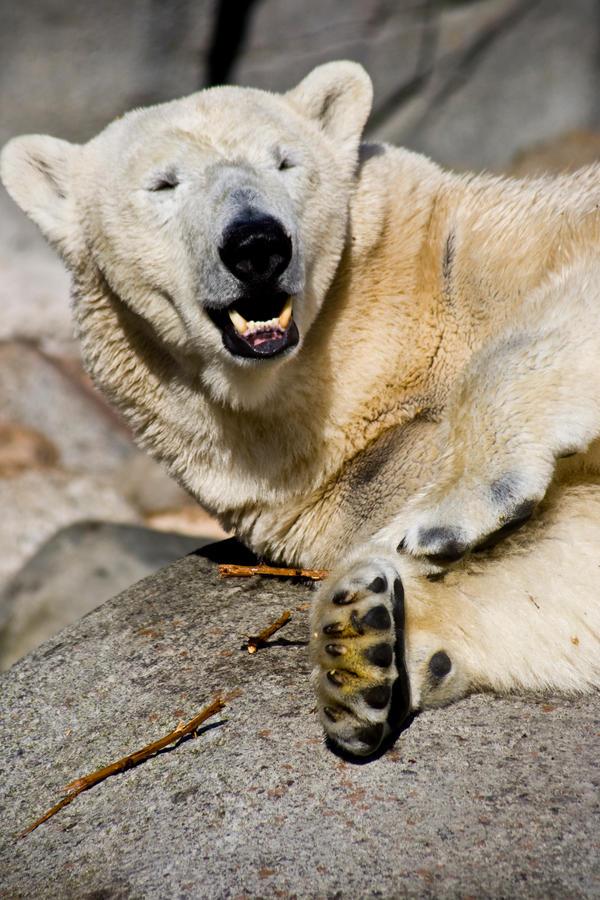 Polar bear by Sundseth