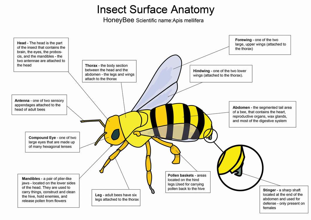 Honey Bee diagram by crazyhobo on DeviantArt