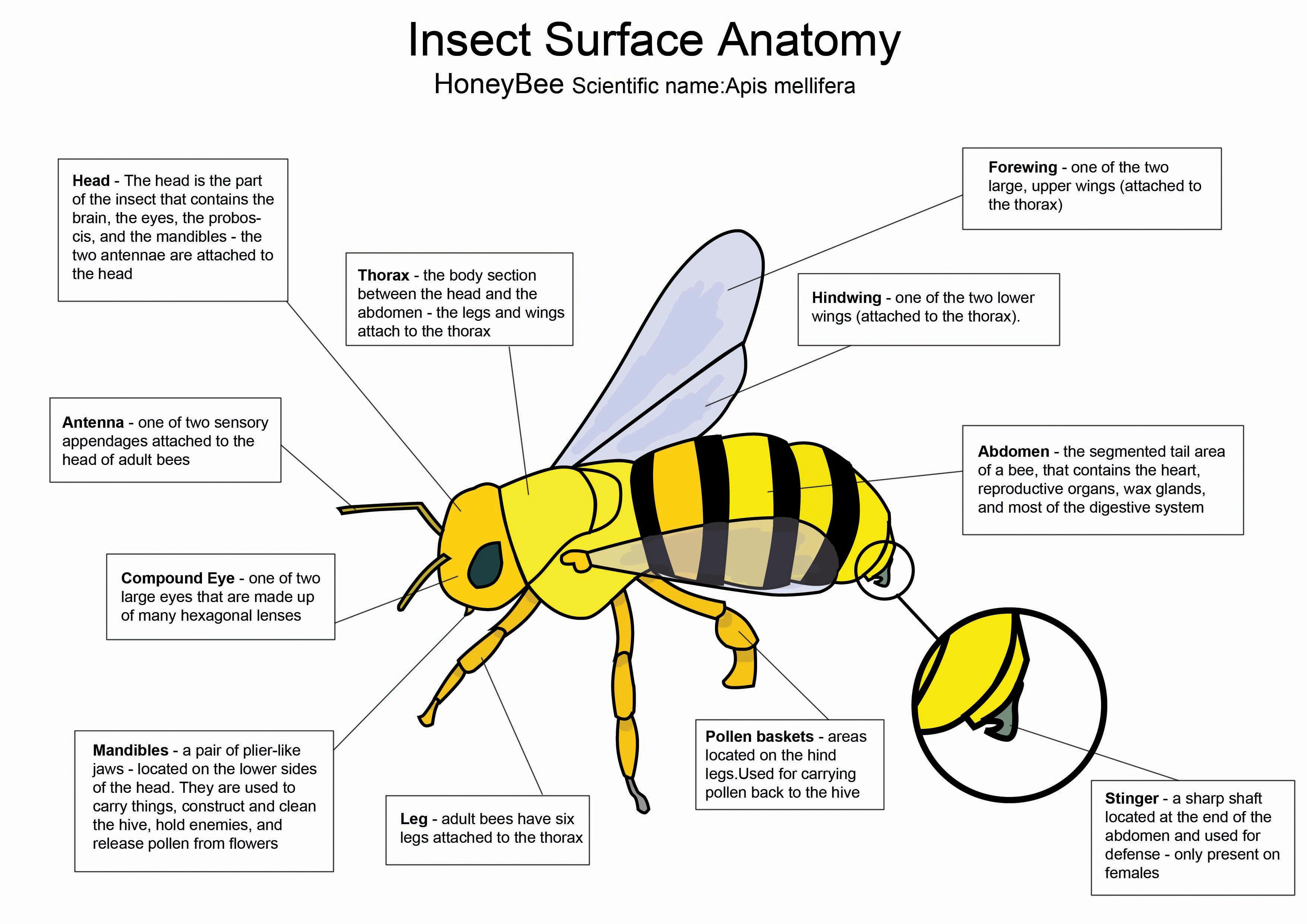 Honey Bee diagram by crazyhobo
