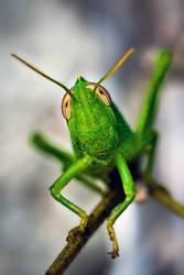Grasshopper by markie2k