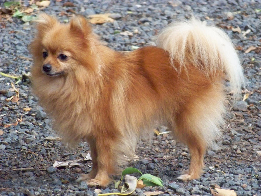 pomeranian adults pom experts what will he look like as an adult 821