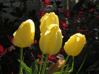 4 yellow tulips by skyeyedangel