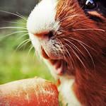 Mr. Guinness loves carrots by ByLaauraa