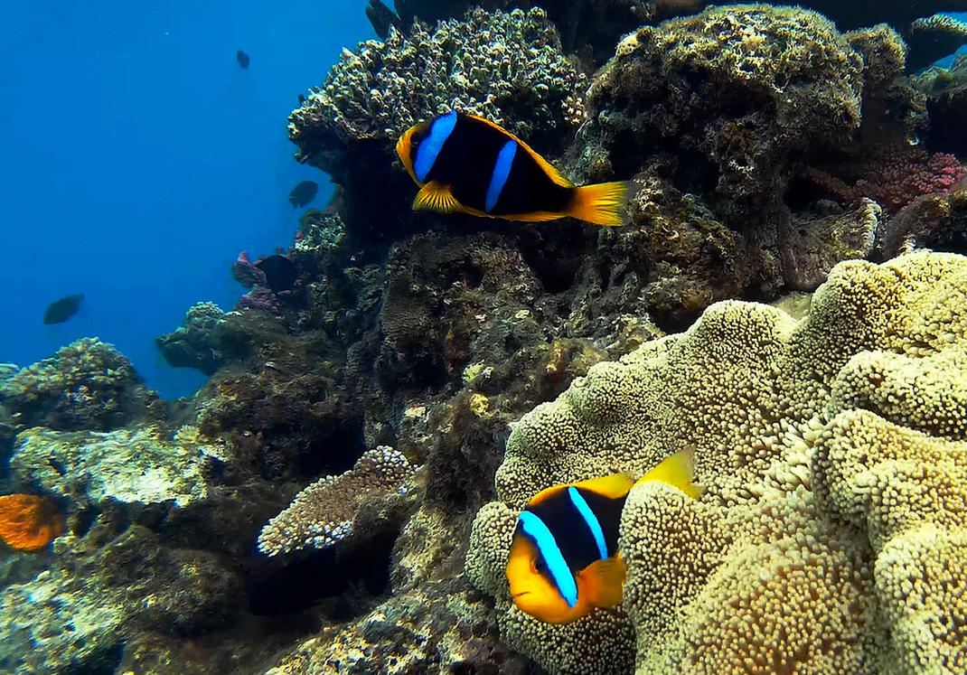 Clown fish by ozplasmic