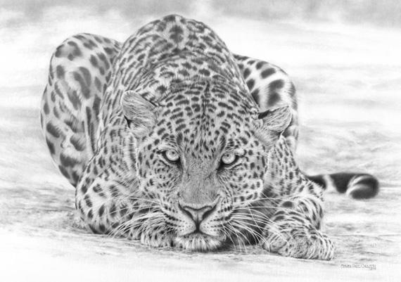 Panthera Pardus, Leopard by spcarlson
