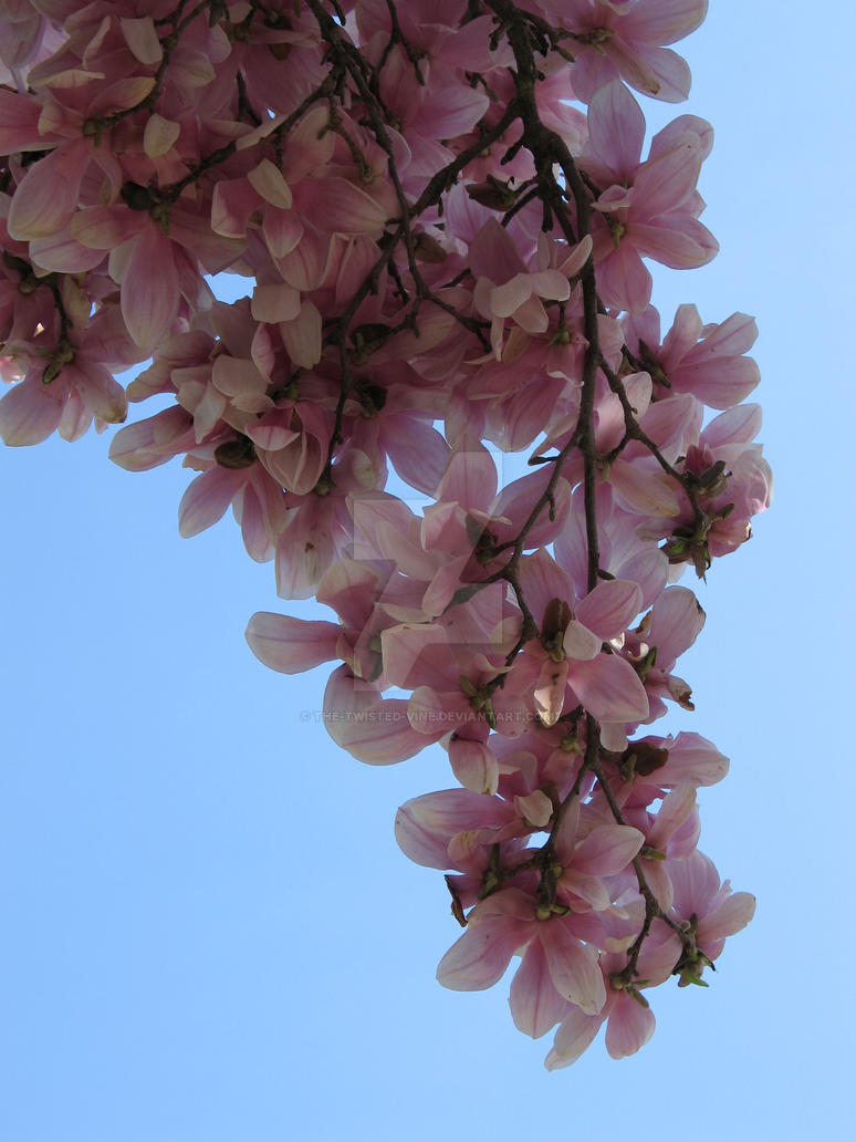 Magnolia tree from below by the-twisted-vine