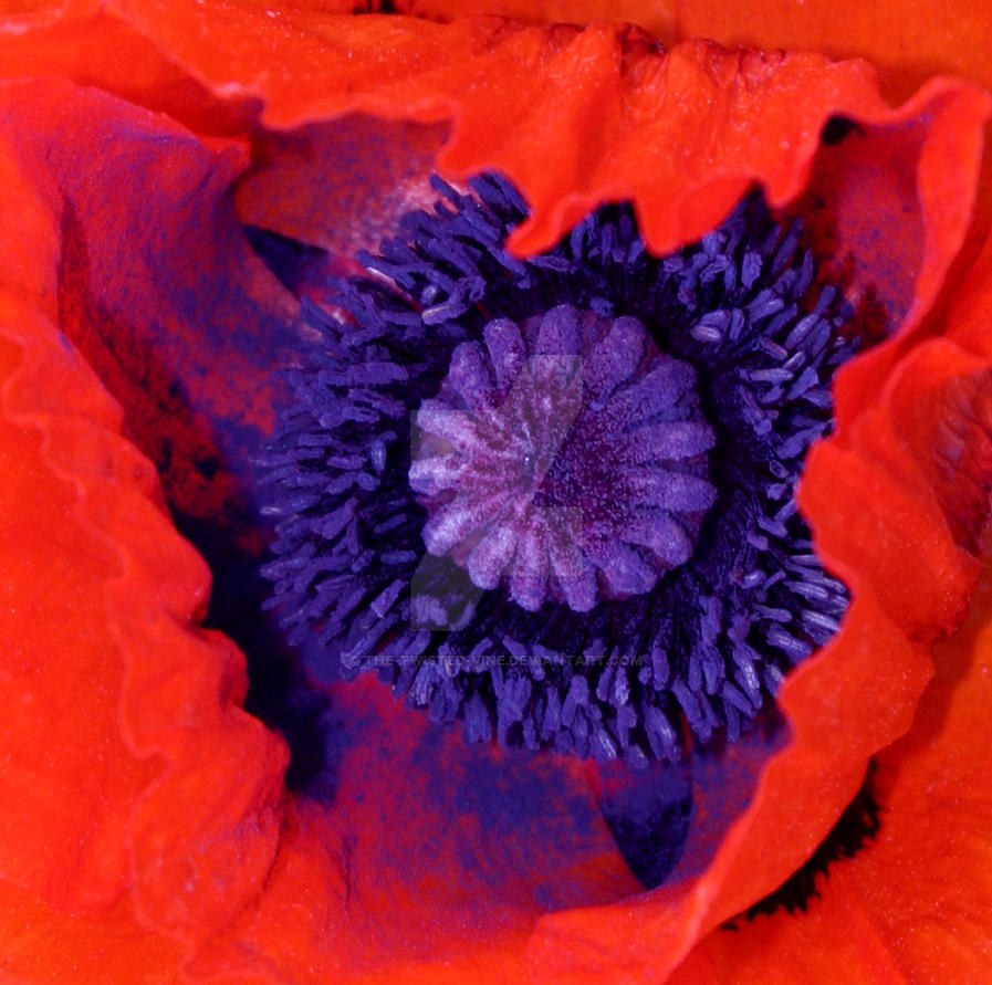 Poppy Close Up by the-twisted-vine
