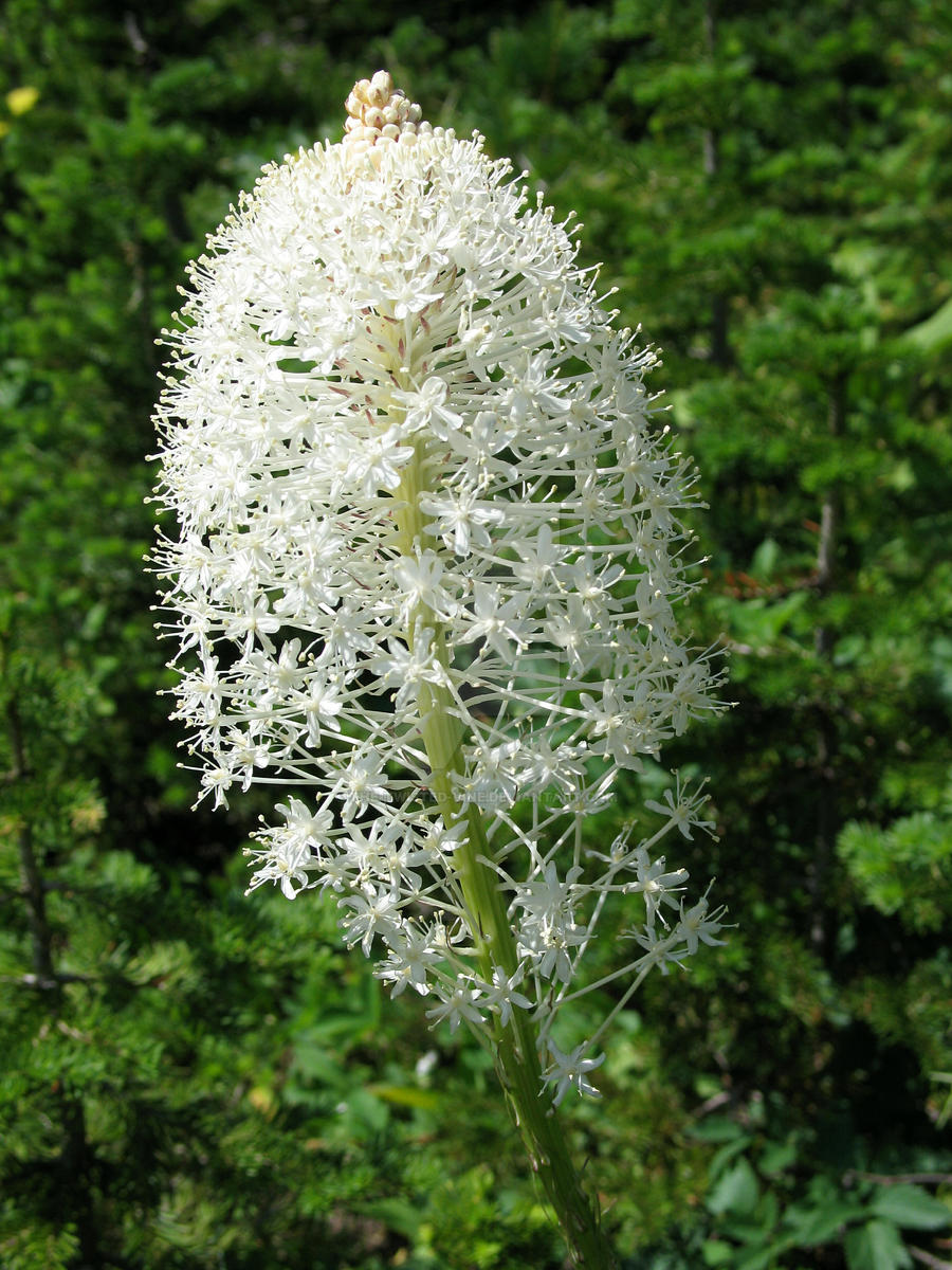 Bear Grass in bloom by the-twisted-vine