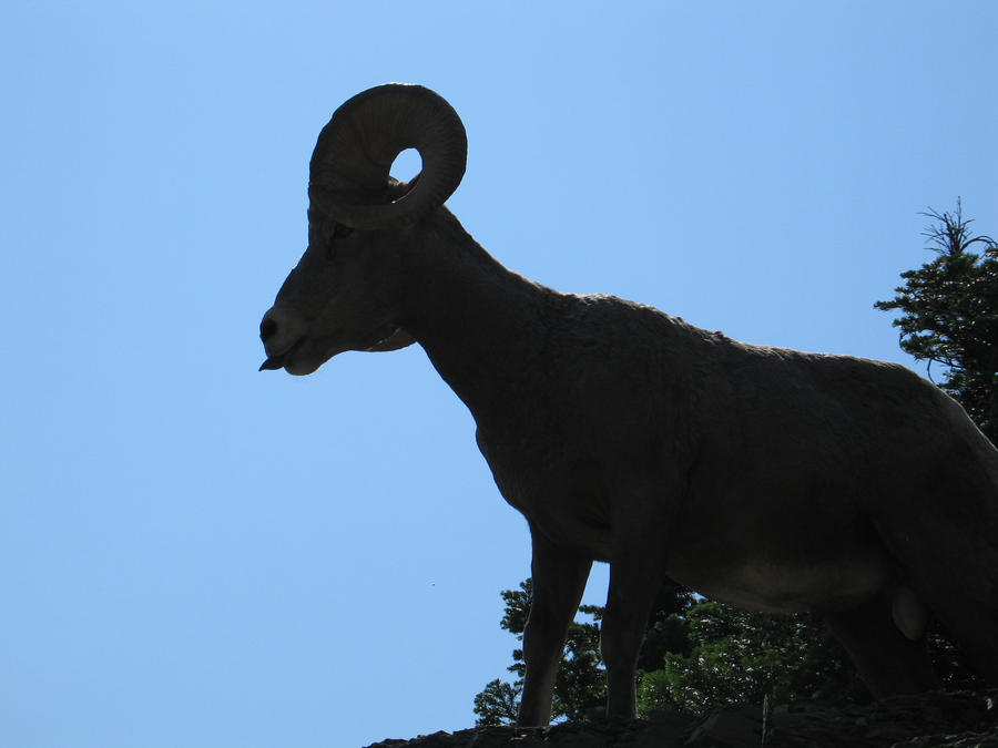 bighorn sheep with an attitude by the-twisted-vine