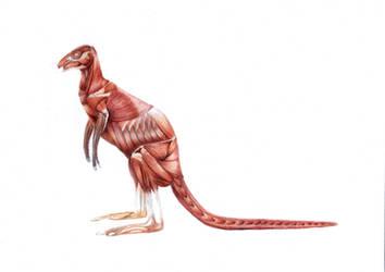 Kangaroo Anatomy - Muscle by JodieQuinn