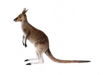 Kangaroo Anatomy - Fur by JodieQuinn