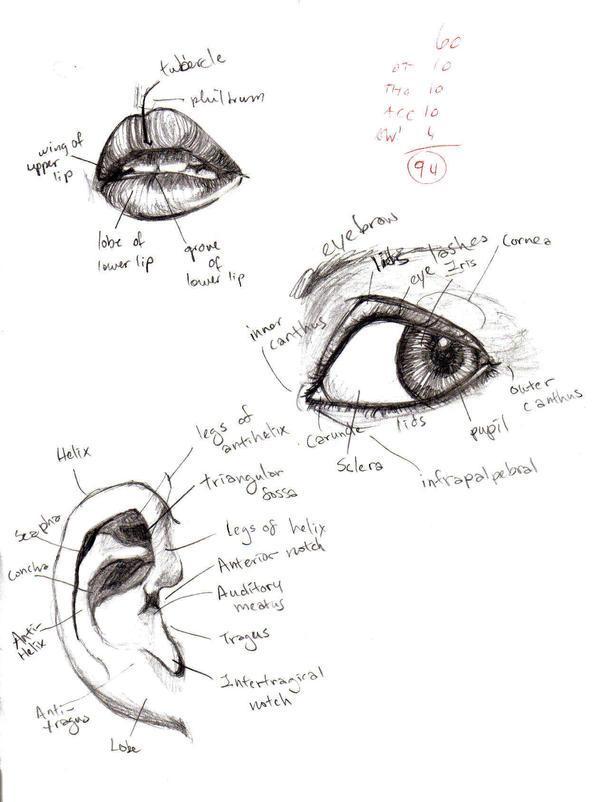Anatomy- Eye, Lip, Ear 1 by tatsumakichan on DeviantArt