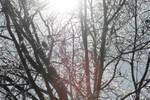 Ice Trees 1