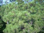Pine Needle Texture by MechaKraken