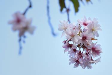 The flying sakura by Parazelsus