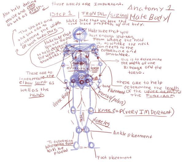 Male Were-Wolf Anatomy Step 1 by Little-Wildcat on DeviantArt