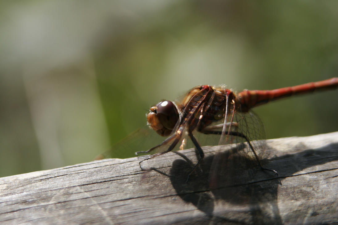 Damselfly 1 by CuriousCabbit