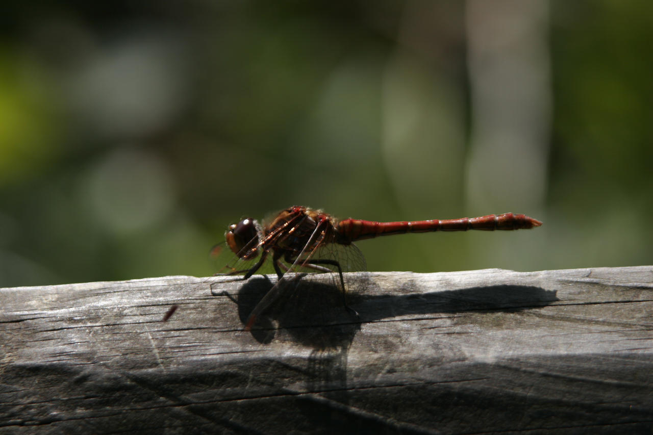 Damselfly 5 by CuriousCabbit