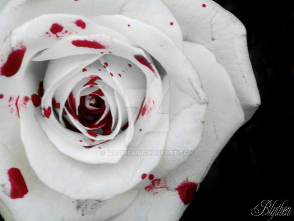 Wild rose by blythen