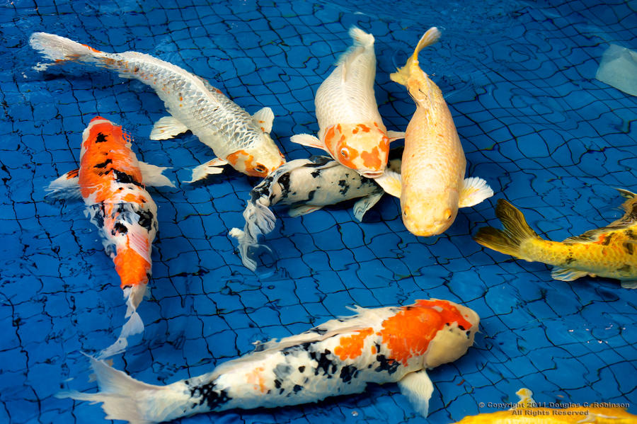 Koi love and friendship by douglascrist on deviantart for Koi meaning in english