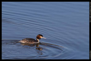 Great Crested Grebe by ironiclensflare