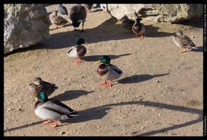 Ducks by ironiclensflare