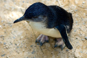 Penguin by clae85