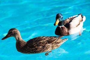 Malard Ducks by amiyuy