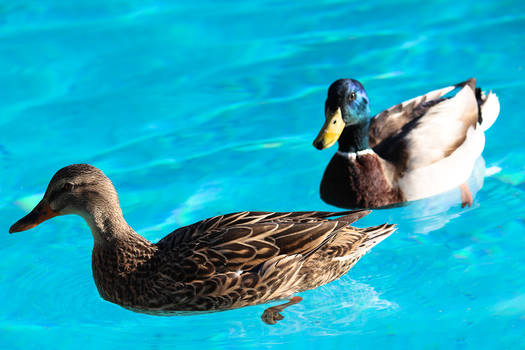 Malard Ducks
