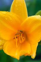 Wild Yellow Lily 1 by amiyuy