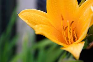 Wild Yellow Lily 3 by amiyuy