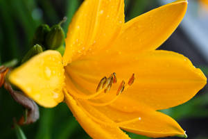 Wild Yellow Lily 5